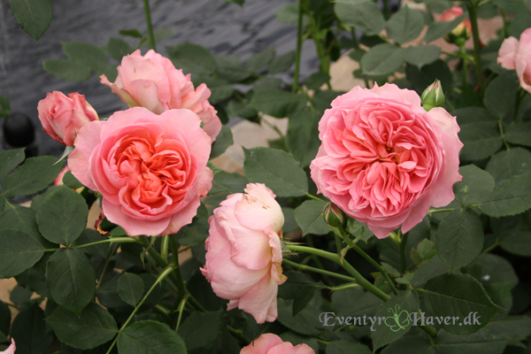 Boscobel english leander hybrid austin rose